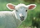 "Jesus Said, ""My Sheep Hear My Voice"""